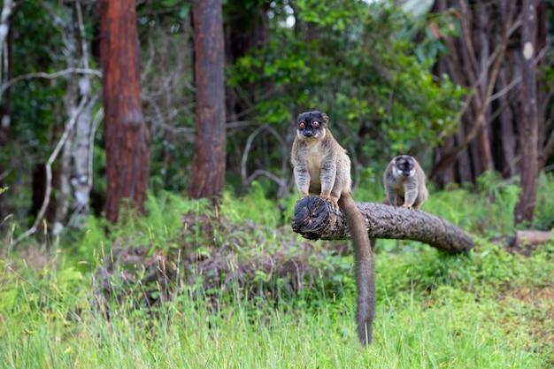 I lemuri su un tronco sospeso sopra l'acqua