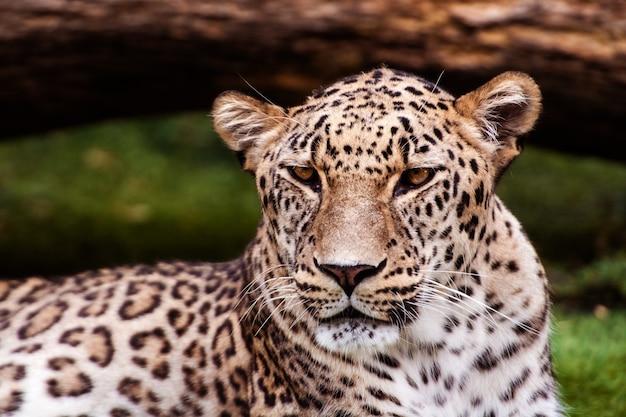 Leopardo, bellissimo ritratto