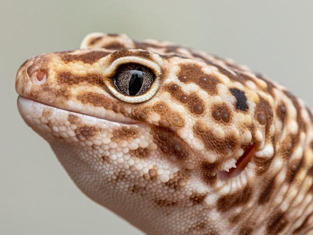 Il geco leopardo (eublepharis macularius).