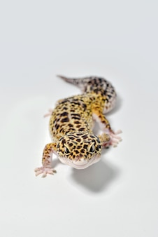 Geco leopardo isolato su sfondo bianco