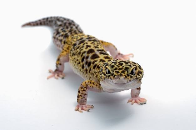 Geco leopardo su sfondo bianco isolato