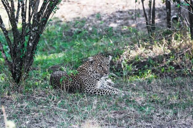 Leopardo che riposa dopo il pranzo in kenya, africa