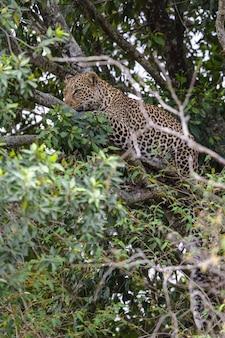 Il leopardo in attesa di prede su un albero