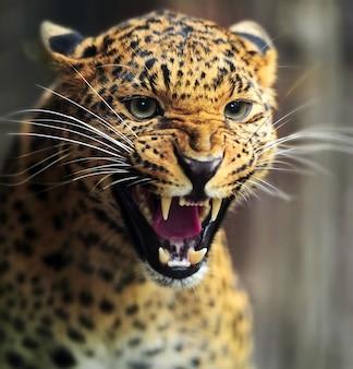 Leopardo allo stato brado sull'isola dello sri lanka
