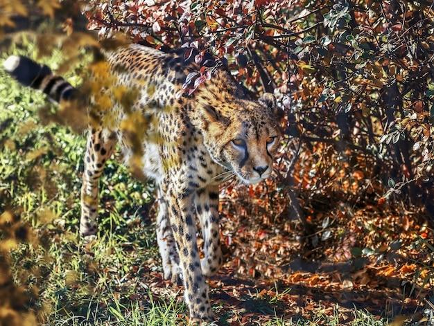 Un leopardo allo zoo