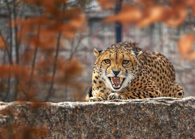 Leopardo allo zoo
