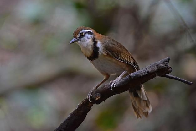 Lesser necklaced laughingthrush che si appollaia sul ramo in natura