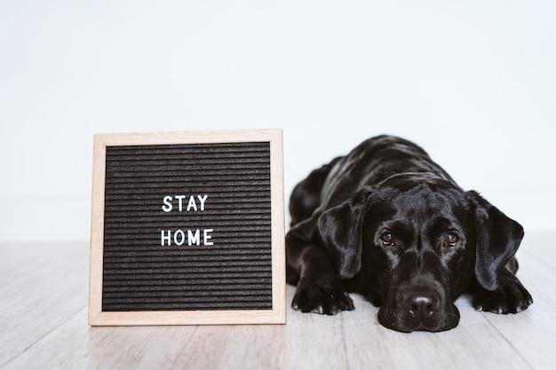 Bacheca con messaggio stay home. bellissimo labrador nero inoltre. concetto di pandovic coronavirus covid 2019