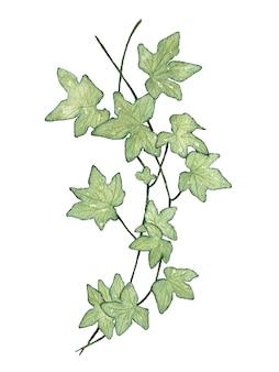 Ramo di liana con foglie verdi acquerello dipinto su bianco