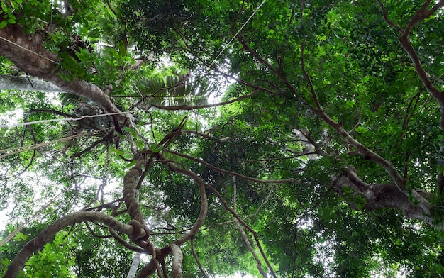 Liane che ciondolano e luce solare dal baldacchino della foresta pluviale a phuket tailandia.