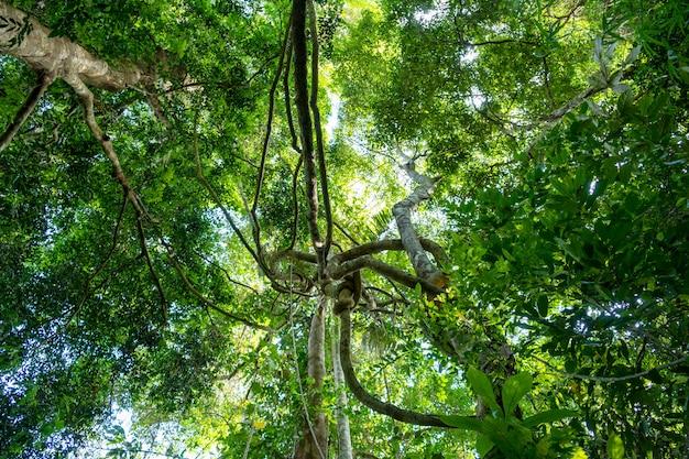 Liane penzolanti e luce solare dal baldacchino della foresta pluviale.