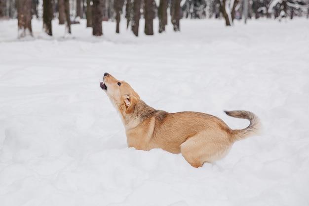 Cane marrone chiaro che salta sulla neve in una foresta. animale giocoso