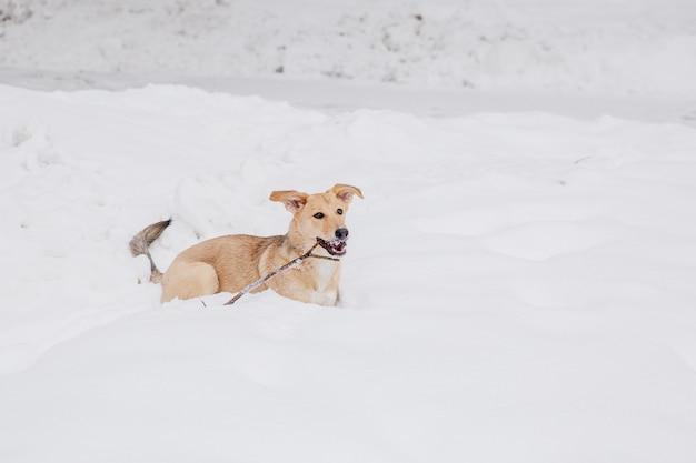 Cane marrone chiaro che gioca con un bastone sulla neve in una foresta