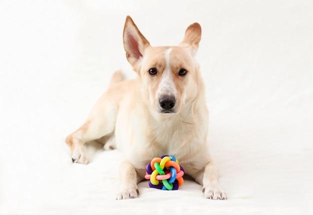 Un cane da compagnia di colore chiaro giace sul divano con una palla colorata. giocattoli per cuccioli.