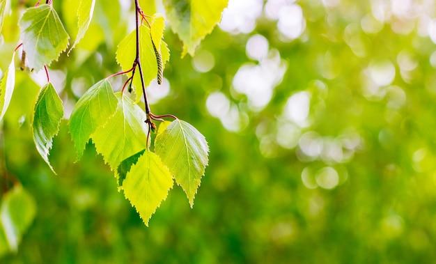 Spazio della copia della betulla delle foglie verde chiaro