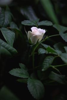 Fiore di rosa rosa chiaro in piena fioritura su sfondo di foglie verde scuro
