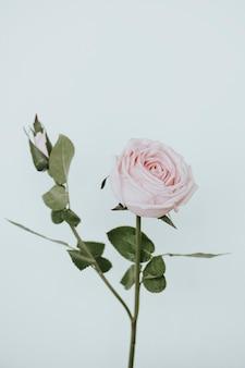 Fiore di rosa rosa chiaro su sfondo bianco