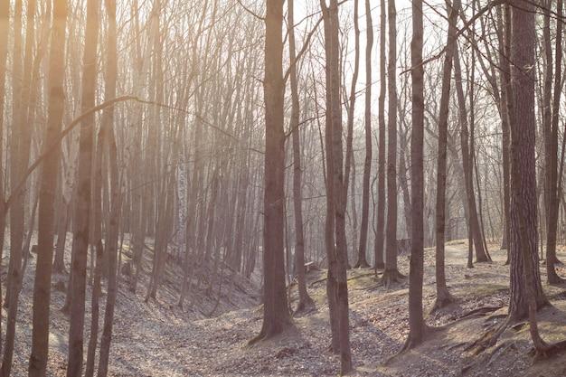 I raggi di luce si fanno strada attraverso i tronchi degli alberi in una foresta senza fogliame, all'inizio della primavera, al risveglio della natura