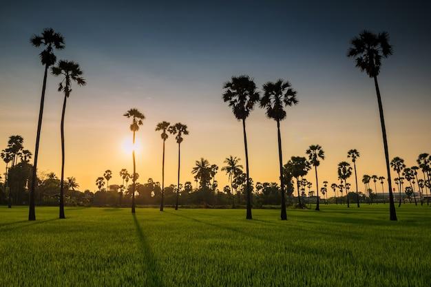 Ombra leggera al tramonto attraverso palme da zucchero e risaie in pathum thani, thailandia. industria agricola nel caldo paese tropicale.