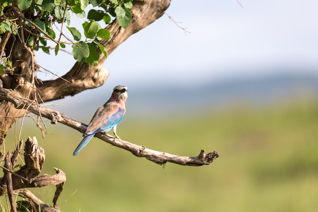 Un rotolo di petto lilla si trova su un ramo di un albero