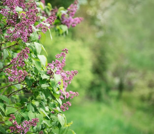 Cespugli di lillà davanti a un verde giardino primaverile
