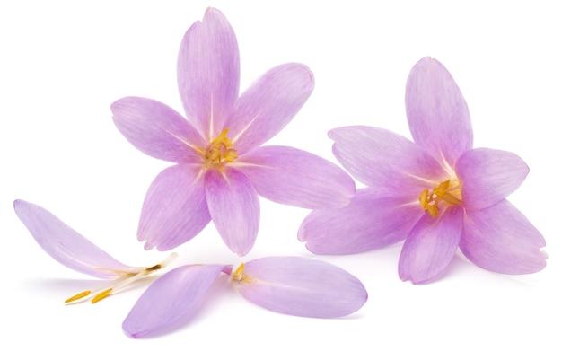 Fiori di croco lilla isolati su sfondo bianco