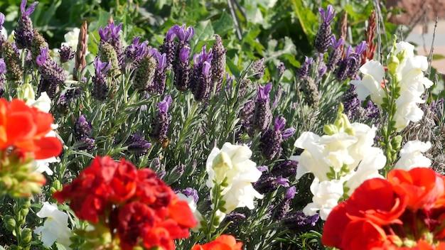 Lilla fiore di lavanda in fiore, botanico naturale vicino sullo sfondo. fioritura viola nel giardino del mattino di primavera, giardinaggio domestico in california, usa. lilla flora primaverile. millefiori viola in soft focus.