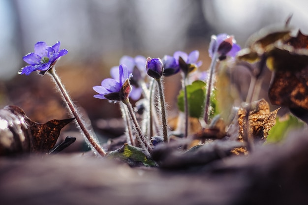 Liverworts lilla sotto la pioggia