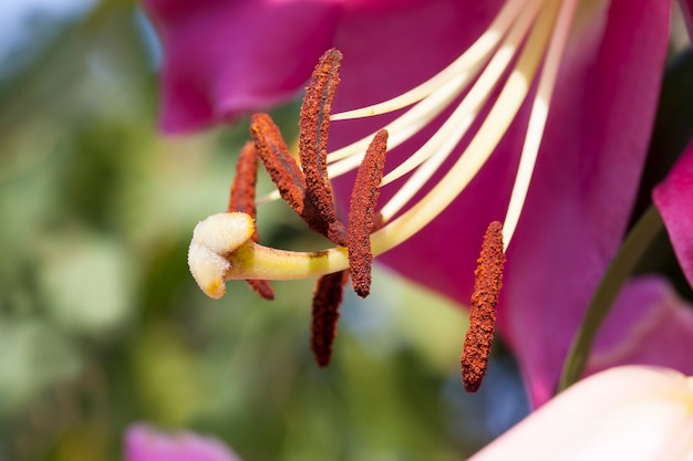 Fiori di giglio per la decorazione e per l'abbellimento, gigli rossi nella stagione primaverile