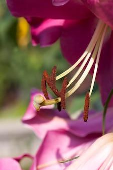 Fiori di giglio per la decorazione e per l'abbellimento, gigli rossi nella stagione primaverile Foto Premium