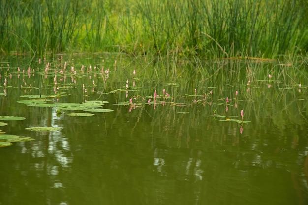 Foglie di giglio sulla superficie dell'acqua nel fiume in estate.