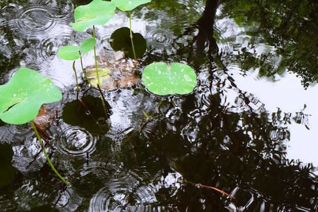 Stagni di giglio con gocce di pioggia sulla superficie. il riflesso di un albero