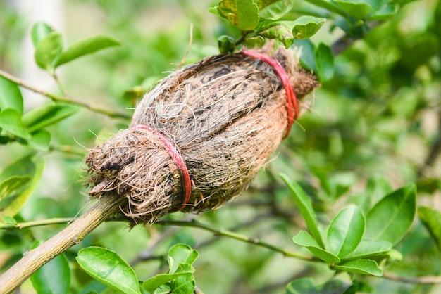 Propagazione della calce - innesto della pianta dell'albero sul ramo di limone nell'azienda agricola di agricoltura biologica