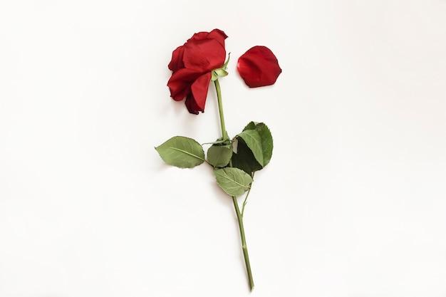Limp rose si trova isolato. fiori appassiti