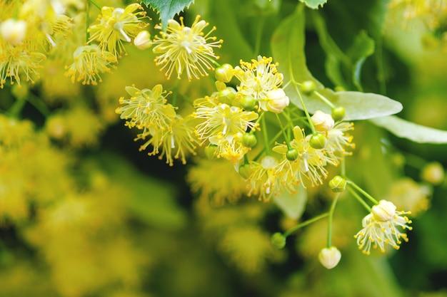 Primo piano del fiore di linden tree