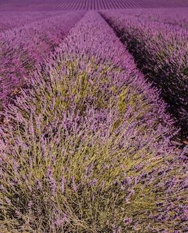 Linee di cespugli di fiori viola chiudono i campi di lavanda in provenza france
