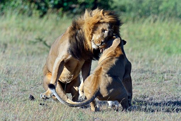Leone nella savana africana masai mara