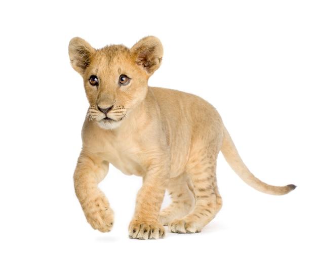Lion cub (4 mesi) di fronte su un bianco isolato