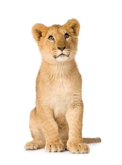 Lion cub (6 mesi) isolato