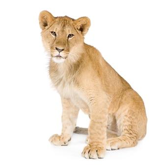 Cucciolo di leone (8 mesi) isolato