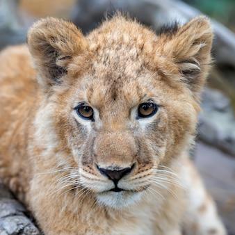 Ritratto di cucciolo di leone in primavera