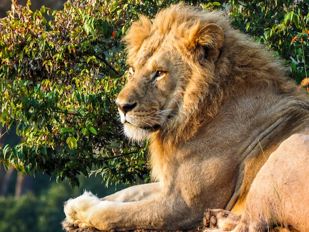 Cucciolo di leone che riposa nella savana tanzaniana