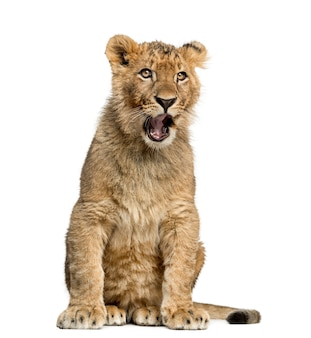 Cucciolo di leone che si siede e che sbadiglia