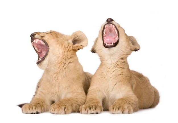 Lion cub su un bianco isolato