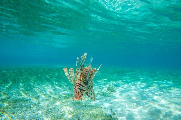 Pesce leone che nuota sott'acqua