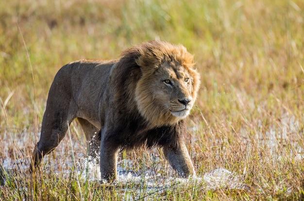 Il leone sta attraversando la palude