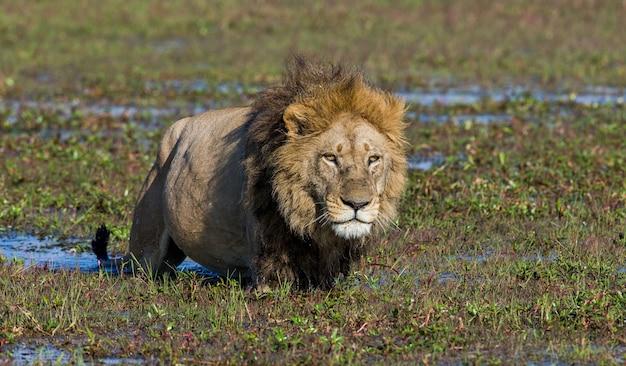 Il leone sta nuotando nella palude