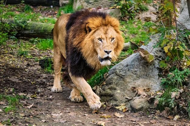 Leone nella foresta della giungla in natura