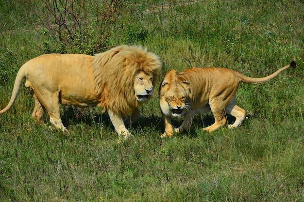 Un leone e una leonessa sull'erba