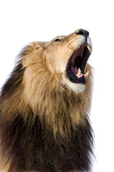 Leone, panthera leo su un bianco isolato